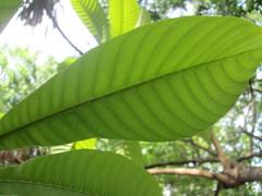 Pouteria sapota image