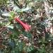 Desfontainia splendens - Photo (c) Juan Carlos Peñaranda Orosco, all rights reserved