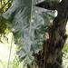 Philodendron maximum - Photo (c) Freddy Santiago Zenteno Ruiz, todos los derechos reservados