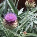 Artichoke Thistle - Photo (c) Darin J McGuire, all rights reserved