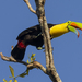 Keel-billed Toucan - Photo (c) Kermit Nourse, all rights reserved