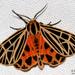 Apantesis virgo - Photo (c) Bryan Pfeiffer, todos los derechos reservados