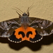 Common Fruit-Piercing Moth - Photo (c) Dianne, all rights reserved