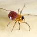 Glenognatha foxi - Photo (c) Ash Bradford, todos los derechos reservados, uploaded by Ashley M Bradford