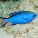 Blue Chromis - Photo (c) Juan Miguel Artigas Azas, all rights reserved