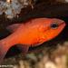 Mediterranean Cardinalfish - Photo (c) Tim Cameron, all rights reserved