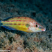 East Atlantic Peacock Wrasse - Photo (c) Tim Cameron, all rights reserved