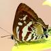 Iraota rochana boswelliana - Photo (c) Neo Tiang Pee, όλα τα δικαιώματα διατηρούνται