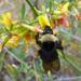 Bombus californicus - Photo (c) Henry (Hank) Fabian, todos los derechos reservados