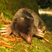 Hairy-tailed Mole - Photo (c) Owen Lockhart, all rights reserved