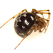 False Widow Spiders - Photo (c) Ash Bradford, all rights reserved, uploaded by Ashley M Bradford