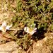 Habranthus chichimeca - Photo (c) Gilberto Torres Jiménez, todos los derechos reservados, uploaded by GilTorres Jiménez