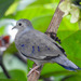 Plain-breasted Ground Dove - Photo (c) Daniel Vélez, all rights reserved