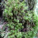 Dusky Fork-Moss - Photo (c) Patrick Loafman, all rights reserved