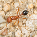 California Harvester Ant - Photo (c) Alice Abela, all rights reserved