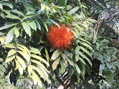 Brownea macrophylla image