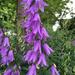 Campanula rapunculoides - Photo (c) Kristin Anderson, todos los derechos reservados