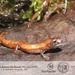 Finca Chibigui Salamander - Photo (c) Juan Alejandro Guerrero Cupacán, all rights reserved