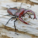 Giant Stag Beetle - Photo (c) James W. Beck, all rights reserved