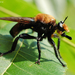 Laphria lata - Photo (c) James W. Beck, all rights reserved