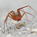 Araña Reclusa Parda Mediterránea - Photo (c) James W. Beck, todos los derechos reservados