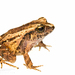 Northern Rainfrogs - Photo (c) J.P. Lawrence, all rights reserved