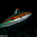 Rainbow Wrasse - Photo (c) Tim Cameron, all rights reserved