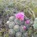Escobaria vivipara neomexicana - Photo (c) Liz Aicher, todos los derechos reservados