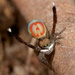 Common Peacock Spider - Photo (c) Jurgen Otto, some rights reserved (CC BY-NC-ND)
