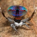 Banksia Peacock Spider - Photo (c) Jurgen Otto, some rights reserved (CC BY-NC-ND)