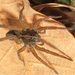 Wetland Giant Wolf Spider - Photo (c) Judy Gallagher, some rights reserved (CC BY)