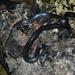 Black False Boa - Photo (c) Juan Carlos Urgel Suarez, all rights reserved