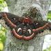 Hyalophora cecropia - Photo (c) kmelville, kaikki oikeudet pidätetään
