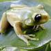 Aplastodiscus - Photo (c) leonardo, todos los derechos reservados, uploaded by Leonardo de Souza Machado