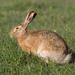 Brown Hare - Photo (c) Ilya Belevich, all rights reserved