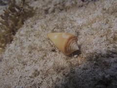 Image of Conus anabathrum