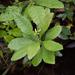 Morella caroliniensis - Photo (c) Morgan Macy, todos los derechos reservados