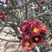 Staghorn Cholla - Photo (c) Brian J. Enquist, all rights reserved