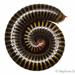 Harpagophoridae - Photo (c) Stéphane De Greef, todos los derechos reservados