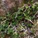 Selaginella wallacei - Photo (c) Eric in SF, todos los derechos reservados, uploaded by Eric Hunt