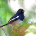 Madagascar Magpie-Robin - Photo (c) Nigel Voaden, all rights reserved