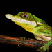 Leaf-nosed Lizard - Photo (c) See Gomen, some rights reserved (CC BY-NC), uploaded by Gomen See