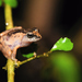 Pug-nosed Shrub Frog - Photo (c) See Gomen, all rights reserved, uploaded by Gomen See