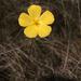 Piriqueta cistoides - Photo (c) Judd Patterson, todos los derechos reservados