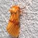 Eulithosia miaiphona - Photo (c) carlos mancilla, all rights reserved