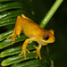 Short-nosed Tree Frog - Photo (c) Martin Mandák, all rights reserved