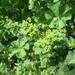Alchemilla cymatophylla - Photo (c) Иван Шабалин, όλα τα δικαιώματα διατηρούνται