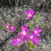California Centaury - Photo (c) Isabelle Kay, all rights reserved