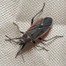 Melacoryphus - Photo (c) kimssight, all rights reserved, uploaded by Kim Moore