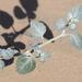 Dicoria canescens - Photo (c) Jay Keller, todos os direitos reservados, uploaded by Jay L. Keller